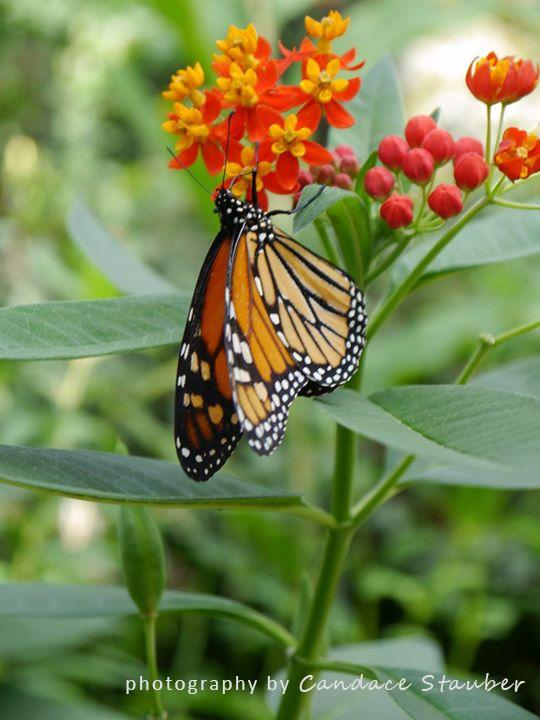 MonarchButterfly-ButterflyPavillion2015-10-02